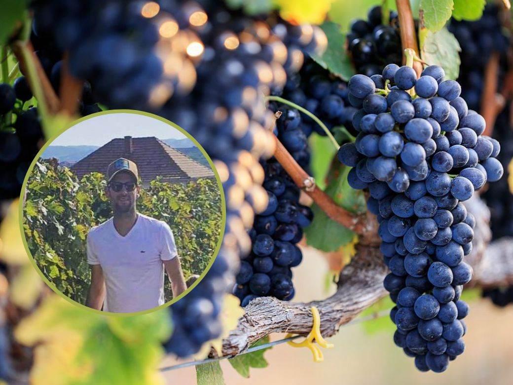 novak bere grozdje