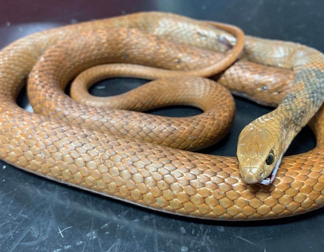 Smeđa australijska zmija